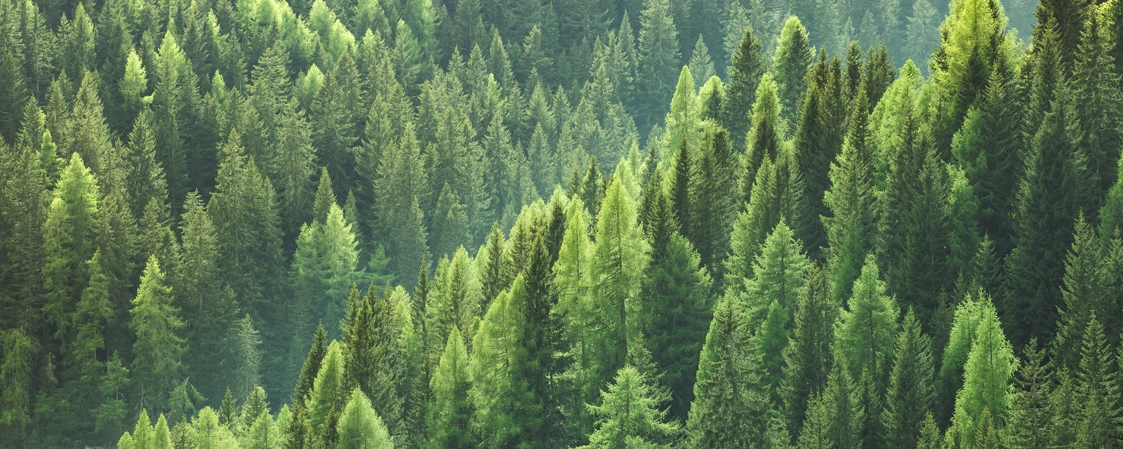 Healthy,Green,Trees,In,A,Forest,Of,Old,Spruce,,Fir